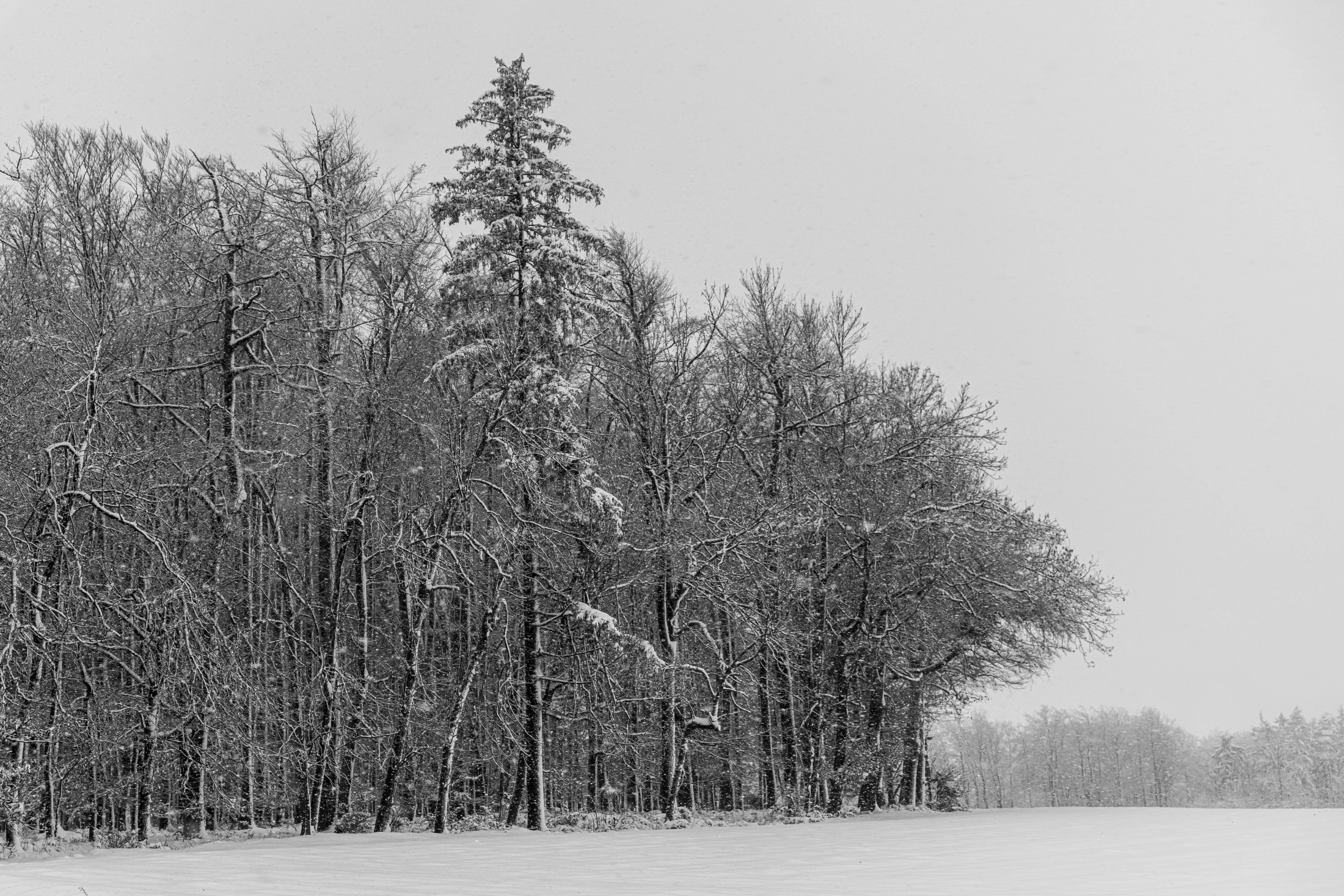 Forest trees in the snow